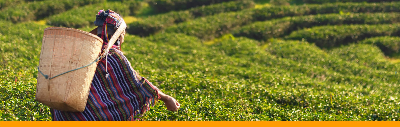 TEE-MAASS - Tee Wissen - Die Teepflanze