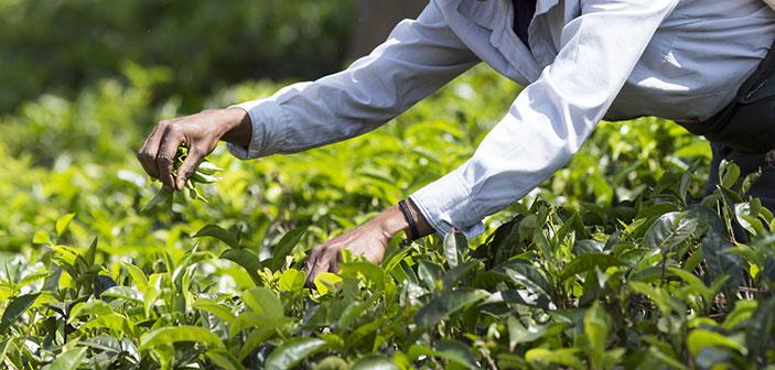 TEE-MAASS - Die Teepflanze