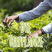 Die Teepflanze